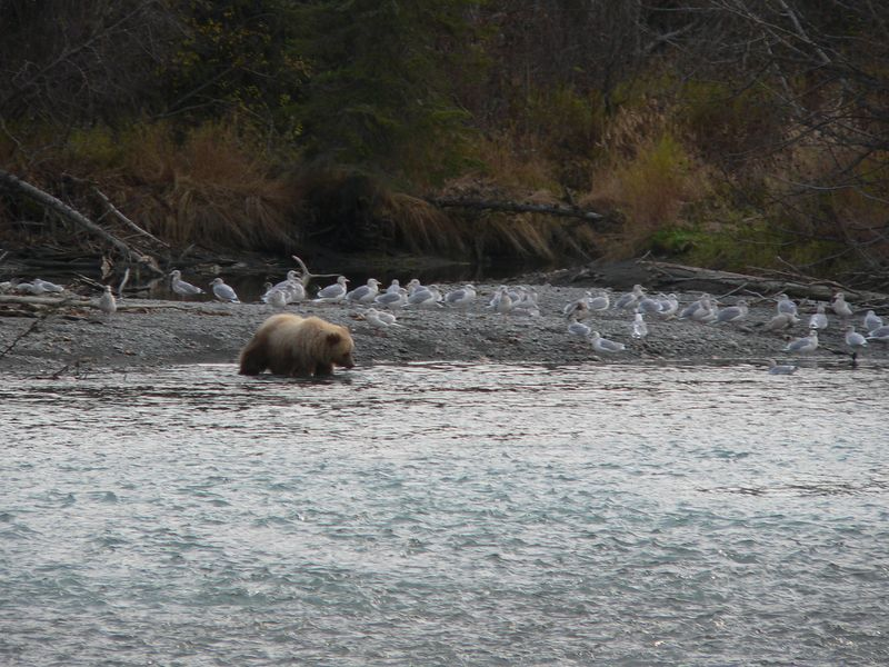 On my way to northwest portion of Kenai Peninsula shortly after exploring Snug Harbor Road, decided to make a rest stop at Jim's Landing along the Kenai River.  As I was getting ready to leave, noticed this grizzly on the other side of the river so naturally I delayed my departure.