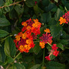 Close up of Lantana