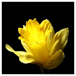 GESO - Daffodil Study