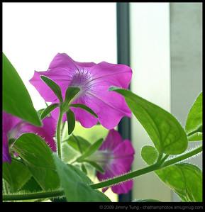 GESO - Petunia Study