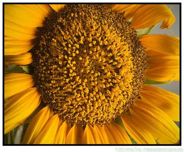 GESO - Sunflower 2011