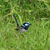Superb Blue Wren. Please credit Josie Stanford (pay if applicable)