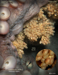 DAY 133.   GIANT PACIFIC OCTOPUS  ( Enteroctopus dofleini ) tending eggs. Possession Point Fingers, Whidbey Island. October 2, 2013