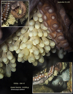 DAY 117.   GIANT PACIFIC OCTOPUS  ( Enteroctopus dofleini ) tending eggs. Possession Point Fingers, Whidbey Island. September 16, 2013