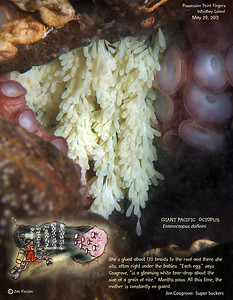 DAY 8.  GIANT PACIFIC OCTOPUS ( Enteroctopus dofleini )tending eggs. Possession Point Fingers, Whidbey Island. May 29, 2013