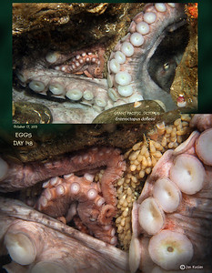 DAY 148.   GIANT PACIFIC OCTOPUS  ( Enteroctopus dofleini ) tending eggs. Possession Point Fingers, Whidbey Island. October 17, 2013