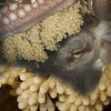 DAY 112.   GIANT PACIFIC OCTOPUS  ( Enteroctopus dofleini ) tending eggs. Possession Point Fingers, Whidbey Island. September 11, 2013
