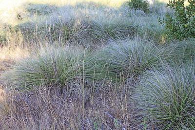 7/24/11 Deergrass (Muhlenbergia rigens). Vista Grande Trail, Santa Rosa Plateau Ecological Reserve, Riverside County, CA