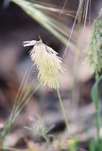 March 2004 Unidentified grass. Eaton Canyon Natural Area, San Gabriel Mountains, Los Angeles County, CA