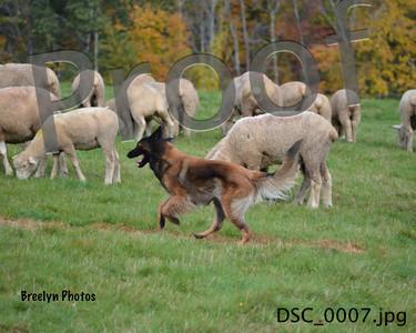 GSDC of America Herding National