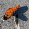 Passion Butterfly on Boardwalk at La Chua Trail