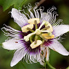 Galapagos Passion Flower