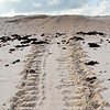 Turtle tracks to nesting site