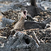 Flightless Cormorant on nest