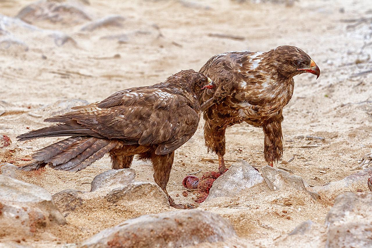 Galapagos Hawks (Sea Lion placenta)