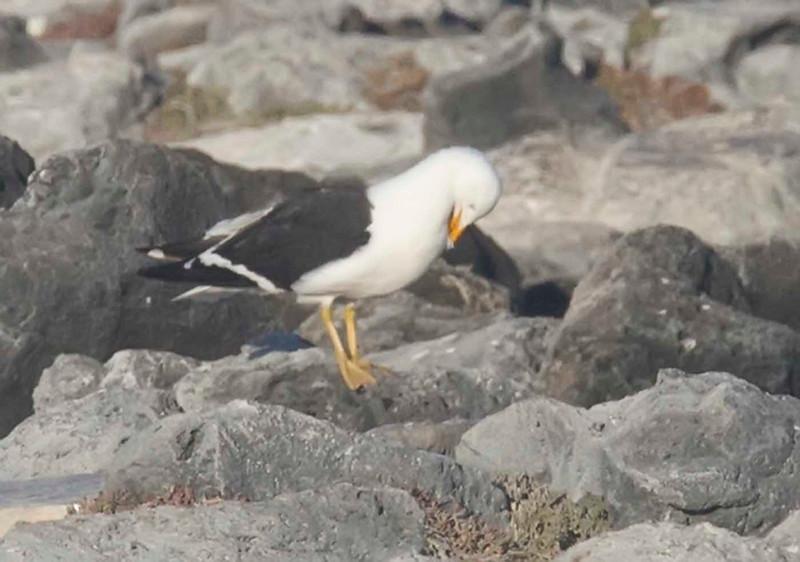 Kale Gull