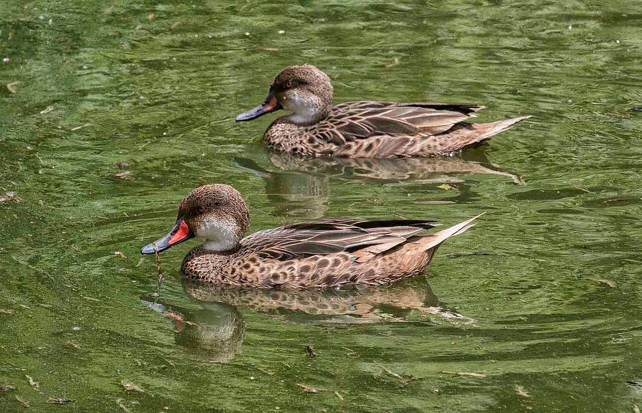 White Cheeked Pintail<br /> Santa Cruz