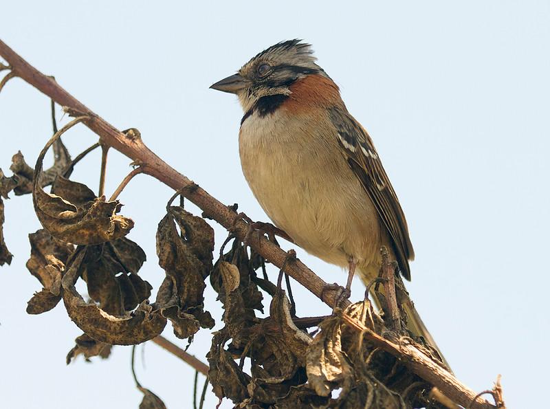 Rufous Collared Sparrow (Quito)