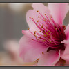 Peach  bloom