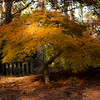 Japanese lace maple tree