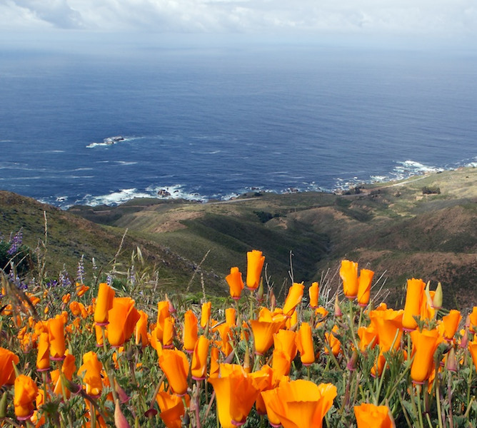 California Poppies.  I think that we sometimes dive the rocks seen at mid left during the REEF survey of the Monterey Bay National Marine Sanctuary.