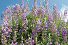 Lupine in bloom.