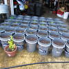 "Fresh out of the indoor greenhouse and potted up, outside for some hardening off before being moved out in the ""garden"".  28 April 12.  5gal buckets filled with a 1/3 each mixture of potting soil, sand and composted cow poop."