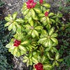 Rhododendron 'President Roosevelt in flower for first time