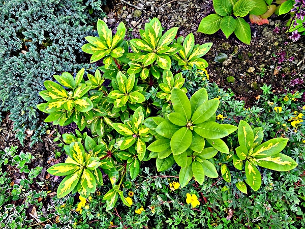 Rhododendron 'President Roosevelt