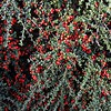 Cotoneaster astrophoros from W. China