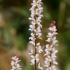 Francoa Sonchifolia (Pale)