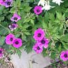 Hardy Geranium, G. psilostemon or its hybrid G. 'Ann Folkard'; ?????