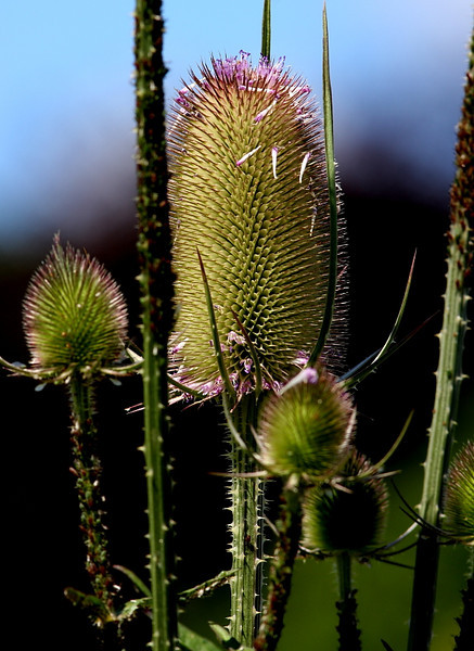 Teasel (Dipsacus fullonum)The plant has a thick stem that grows up to approximately three to six feet.Ancient period herbalists also recommended the use of teasel roots to cure jaundice