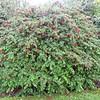 Fuchsia megellanica (Dwarf Form)