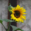 Sunflower without the sun