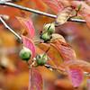 Stuartia pseudocamellia seed