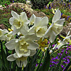 Triple Headed Narcissus