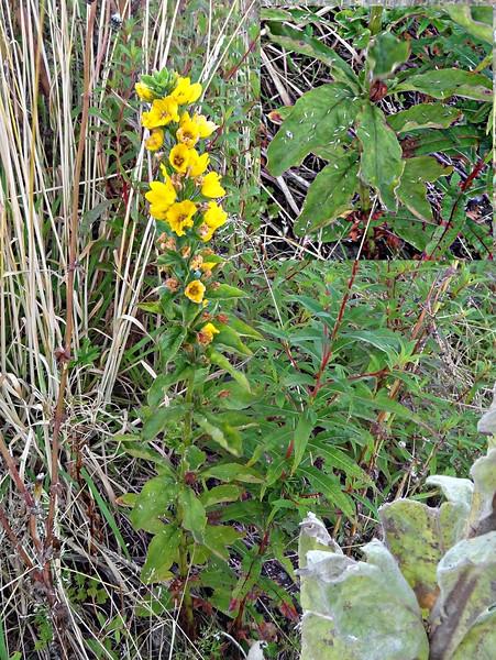 Lysimachia vulgaris (garden loosestrife, yellow loosestrife