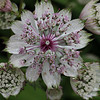 Macro Astrantia hand held