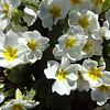 Primrose(Primula vulgaris)