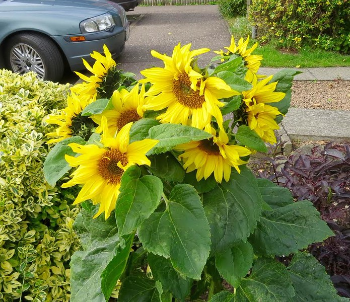 Self seeded Sunflower