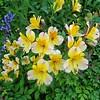 . Alstroemeria cultivar,