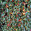Cotoneaster dammeri from W.China.