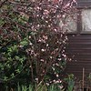 Charles Lamont' is a vigorous, upright large deciduous shrub with dark purple shoots bearing terminal clusters of scented, pink flowers. Oval leaves open bronze-tinted, becoming dark green by summer