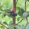 Oemleria Cerasiformis (Oso berry)