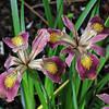Iris - 'Broaddleigh Rose