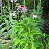 Echinacea cv