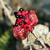 Paeonia Coriacea