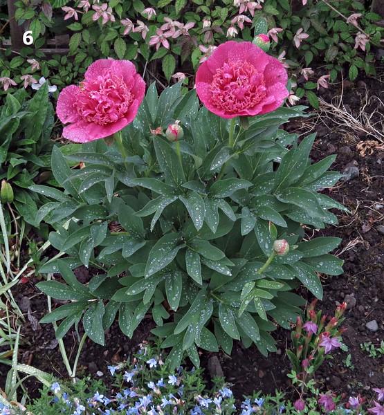 Paeonia officnalis 'Anemoniflora Rosea