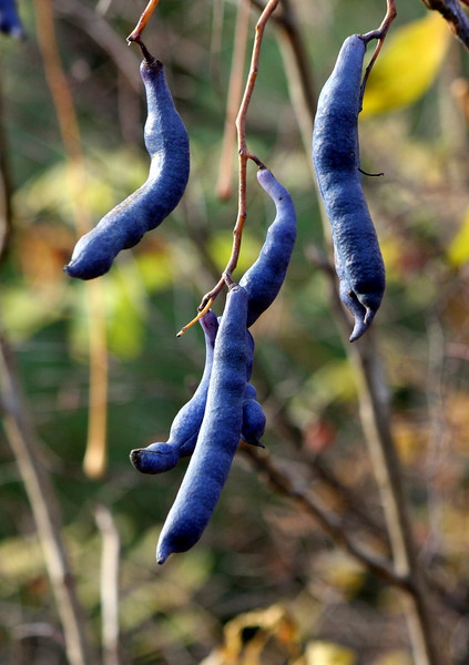 Blue Sausage Fruit; Blue Bean Shrub (Decaisnea fargesii) edible